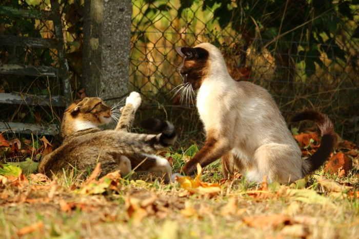 Comportamientos agresivos entre gatos