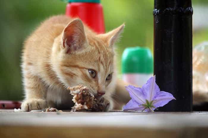 Un gato comiendo carne cocinada