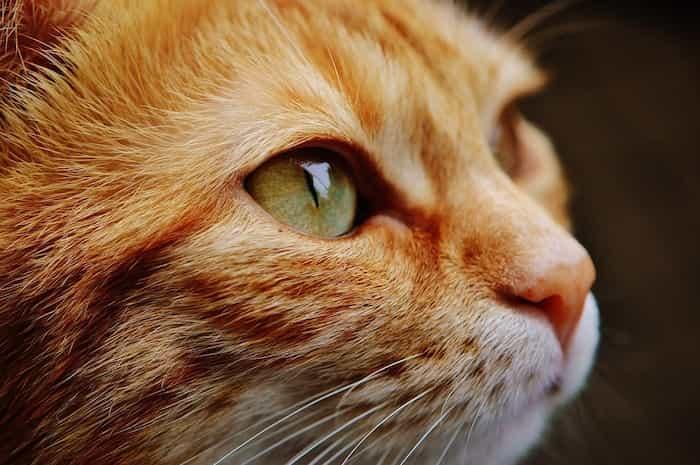 Un gato con los bigotes regenerados