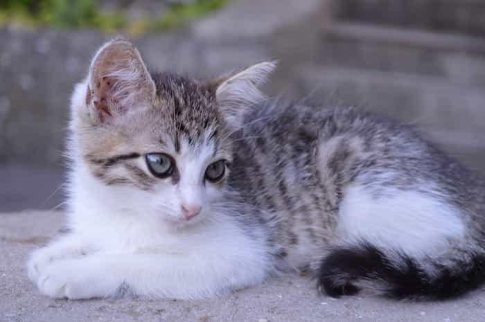 Cría de gato que ha nacido con los ojos azules