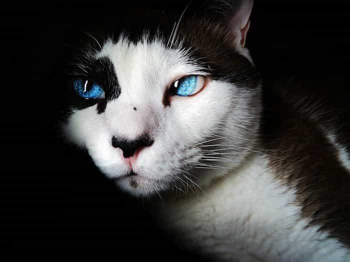 Un gato común con manchas negras en la nariz