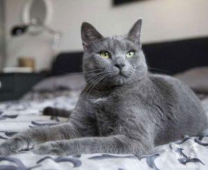 raza de gato azul ruso