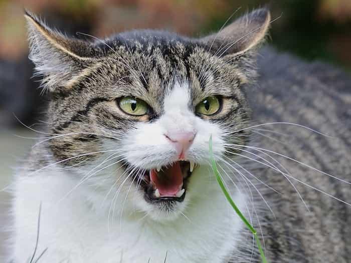 Gato en aptitud agresiva sin collar