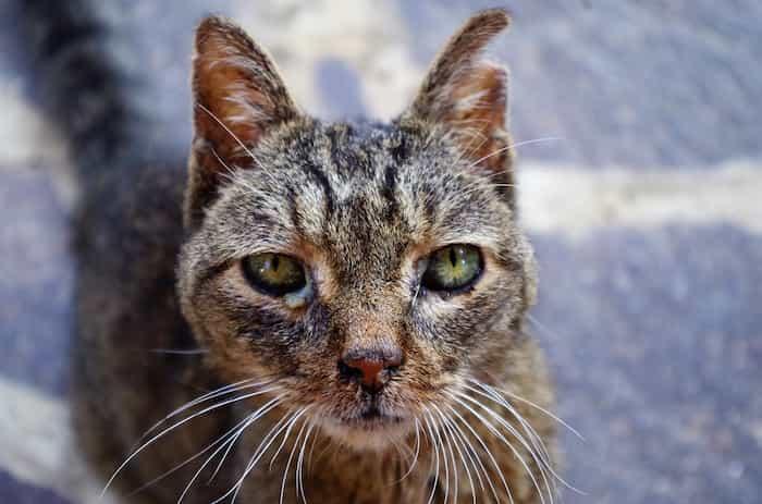 Gato con herpesvirus