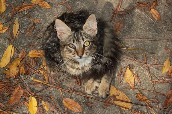 Gato con uveítis en el ojo