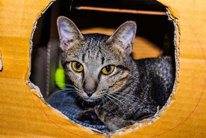 Gato mirando por una abertura de su casa caja de cartón