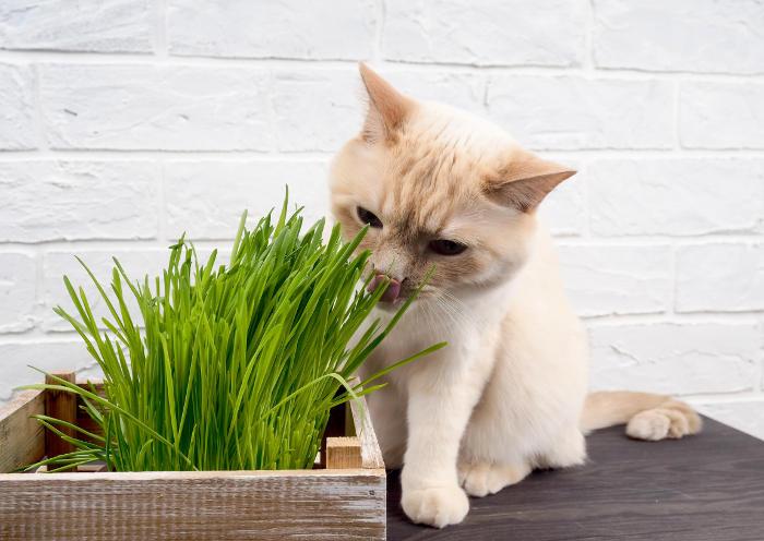 Gatito comiendo hierba gatera para purgarse