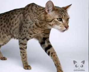 Gato Ashera