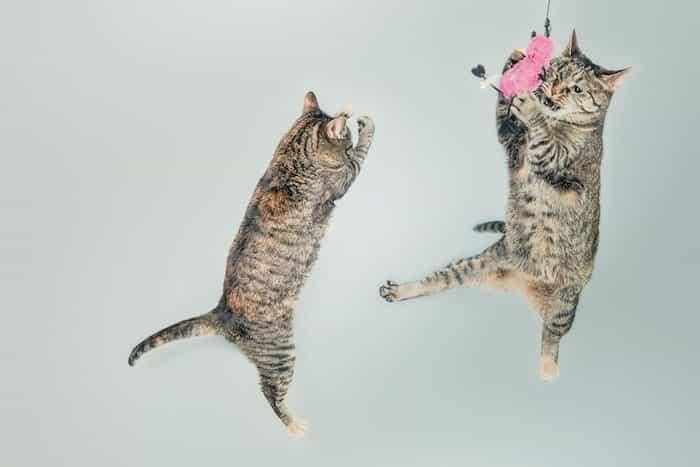 Gatos saltando y jugando con una caña de plumas.