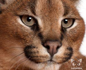 Gato Caracal