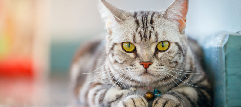 Gato con collar con cascabel