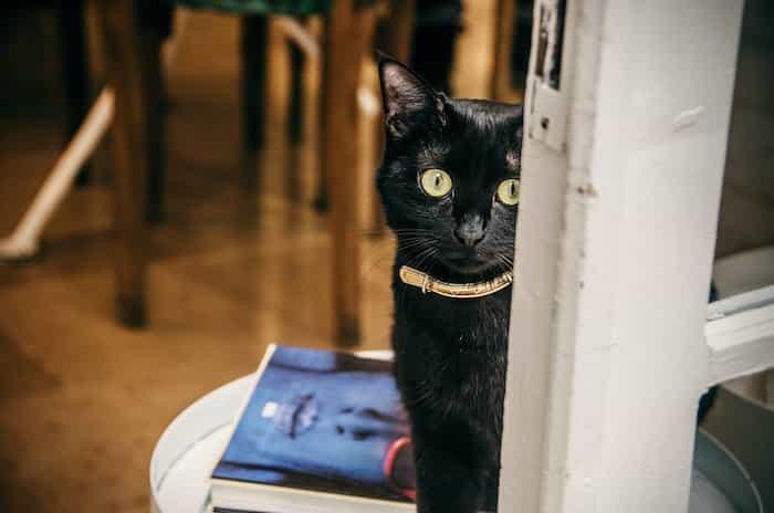 Gato negro con un collar de piel y hebilla