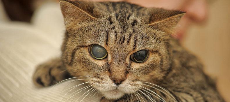 Enfermedades de los ojos en los gatos