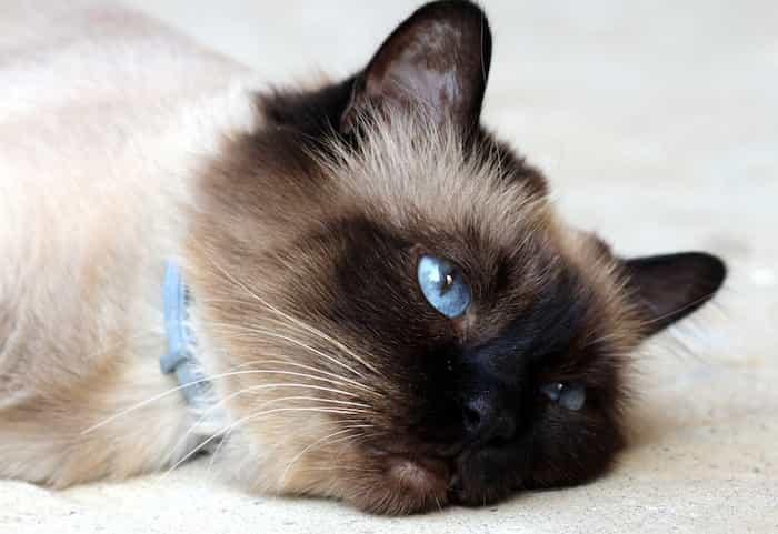 Un gato mimoso y tumbado