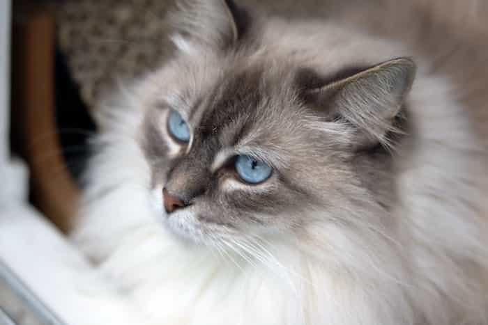 Un gato con ojos azules observando