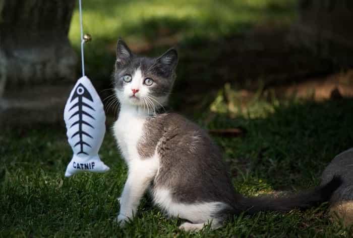 Gato con un juguete con catnip.