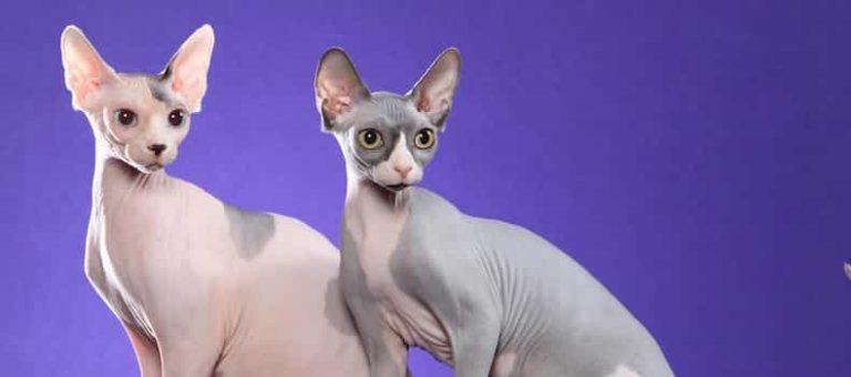 Gato de raza sin pelo.
