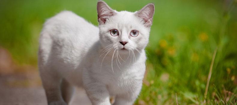 Raza de gato pequeño