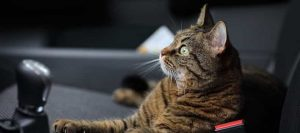 Un gato esperando su transportínen para viajar en coche