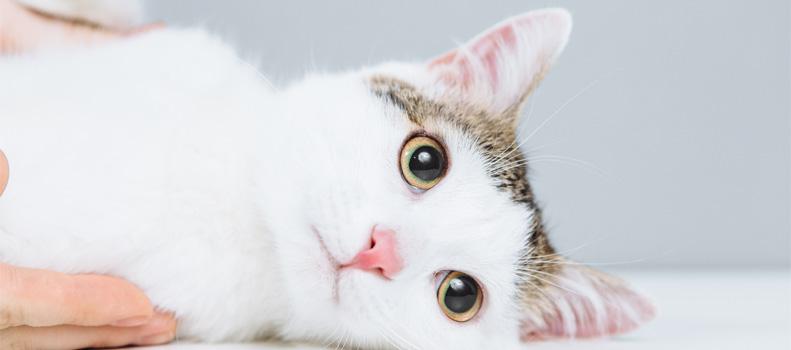 Gato tumbado en observación por un veterinario