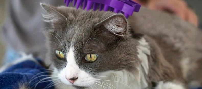 Gato que tiene caída de pelo