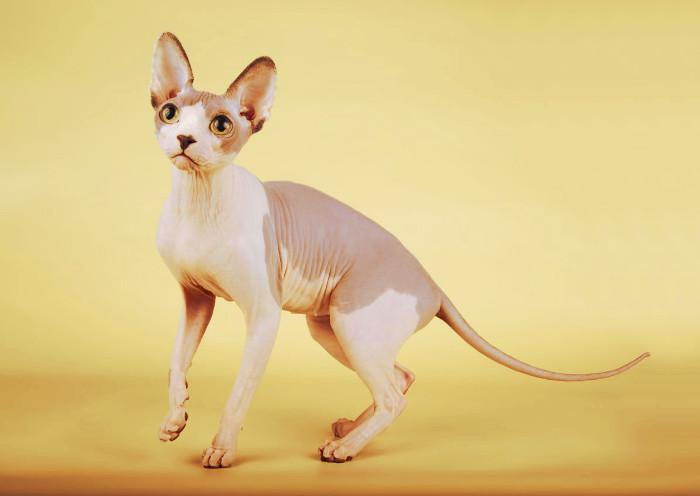 Gato esfinge sin pelo perceptible