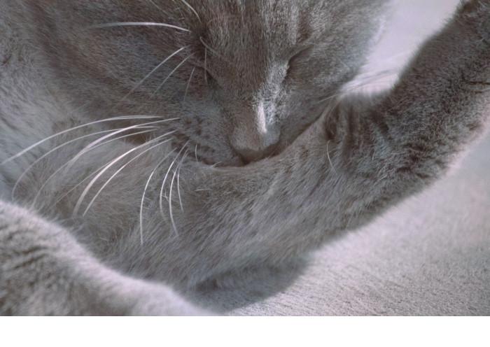 Gato relajado lamiéndose
