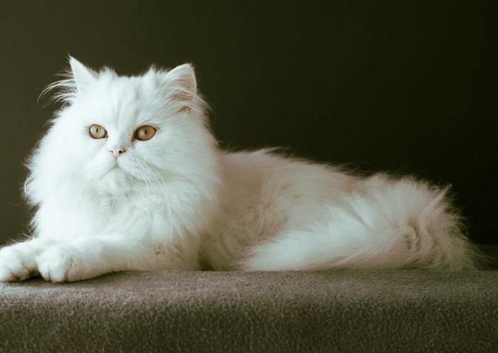 Gato blanco tumbado con pelaje largo