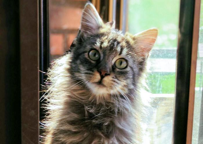 Gato de pelo largo en la ventana