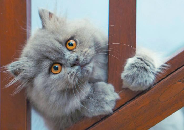 Gato persa sujeto a una barandilla