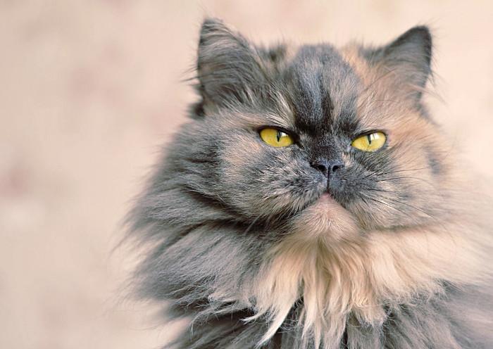 Gato persa bicolor