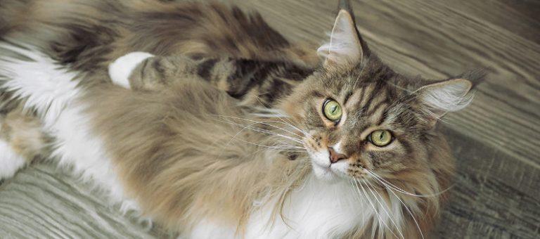 Gato de raza de pelo largo