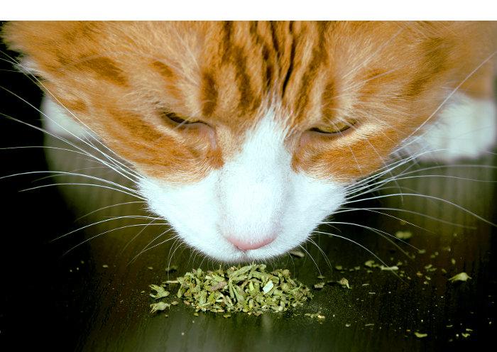Un gato oliendo hierba para gatos o catnip