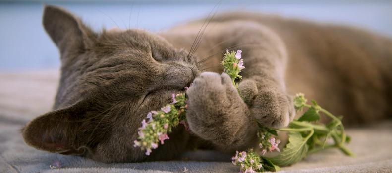 Gato tumbado que coje hierba para gatos o catnip