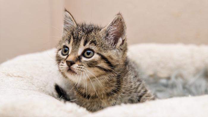 Gato pequeño en una cama para gatos