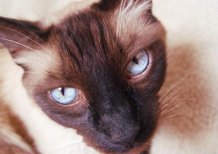 Mirada de un gato siamés