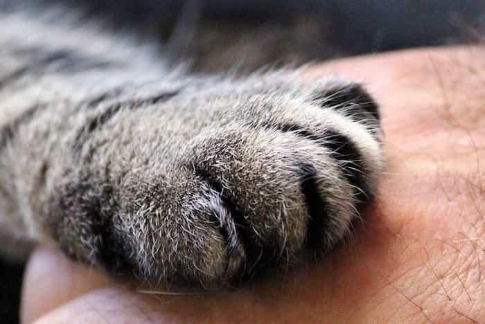 Garra de un gato