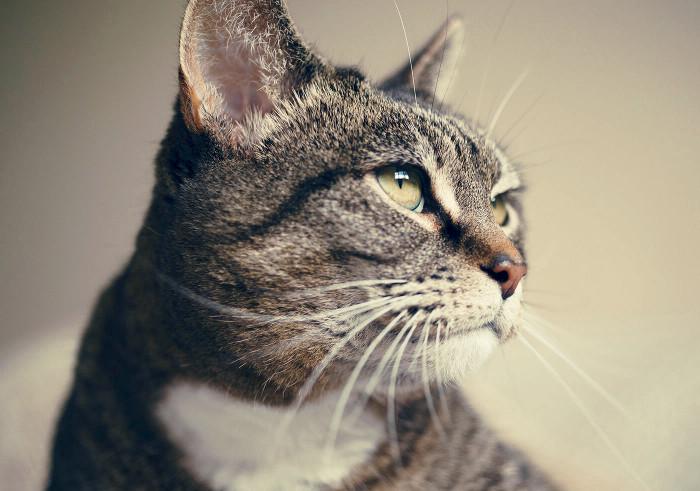 Gato adoptado de una protectora