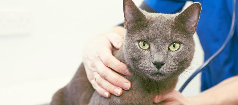 Gato con insuficiencia renal en la consulta del veterinario