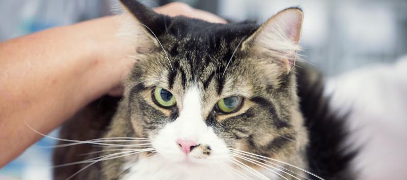 Gato con insuficiencia renal en el veterinario