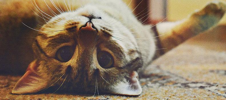 Gato adiestrado en la alfombra de casa