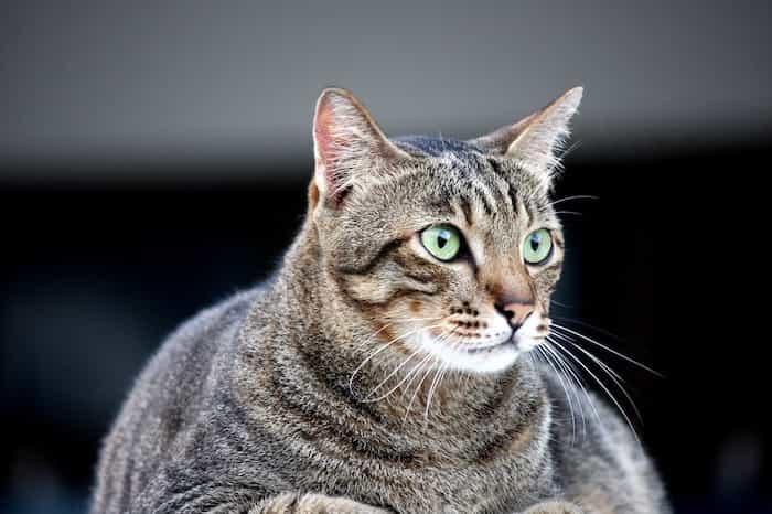 Gato que sufre de obesidad