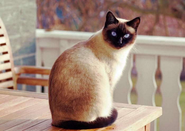 Gato siamés en una terraza de casa