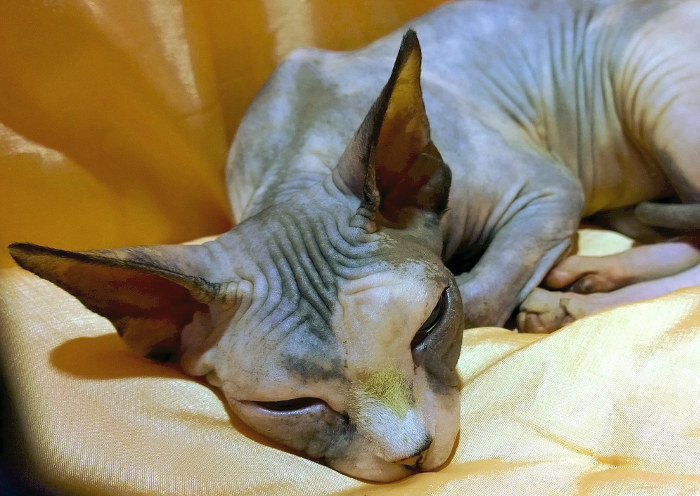 Gato sin pelo tumbado en un sofá