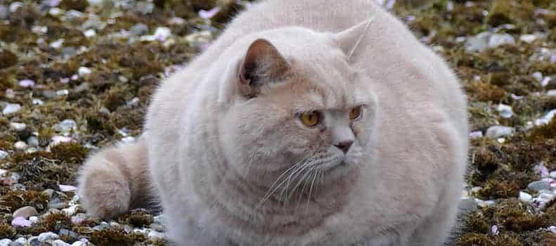 Gato con sobrepeso