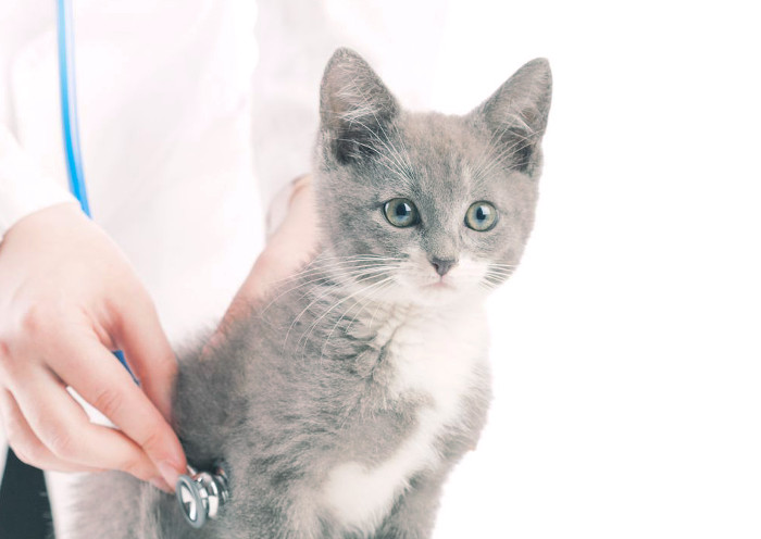 Gatito en la consulta del veterinario por problemas renales