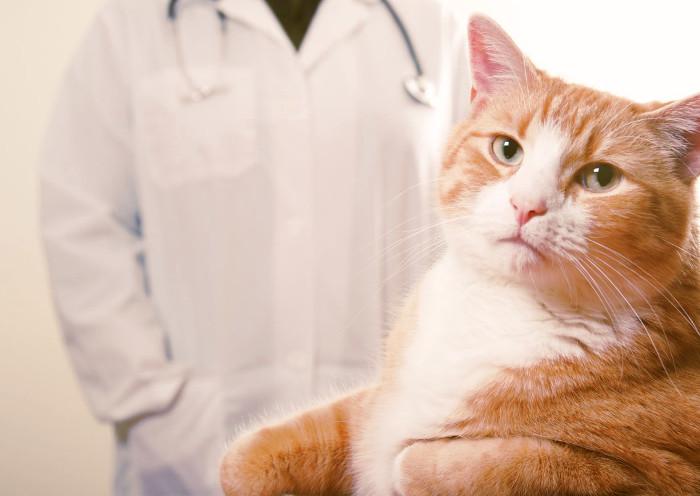 Gato en la consulta del veterinario