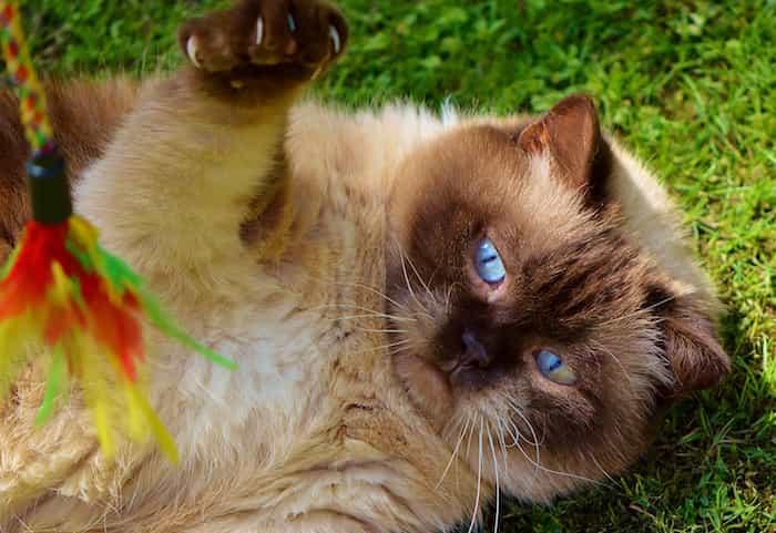 Gato jugando con un juguete de pluma hecho en casa