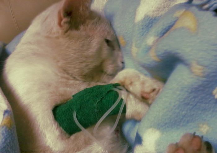 Gato deshidratado con suero intravenoso