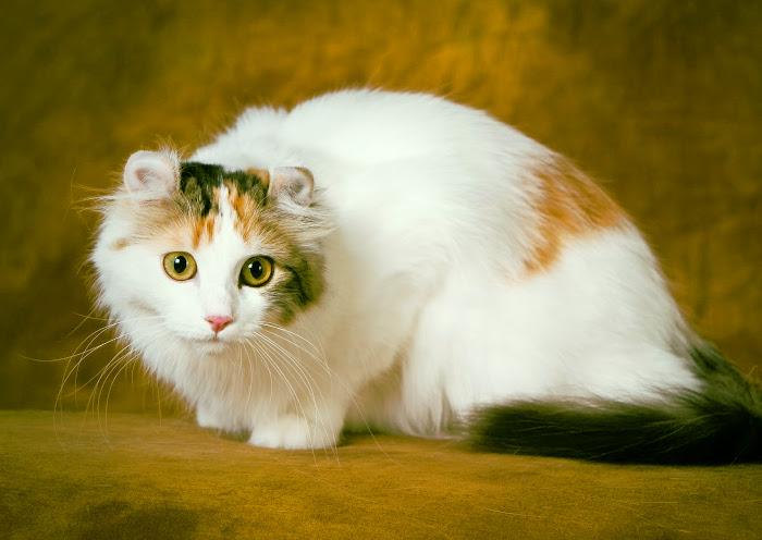 Raza de gatos blancos con pelo largo